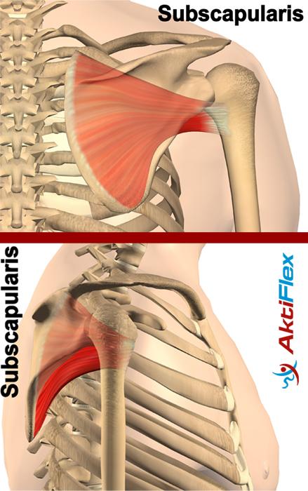 Die Rotatorenmanschette der Schulter erklärt von Schulterhilfe.de